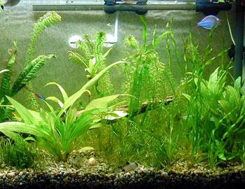 گیاهان آكواریومی,نحوه كاشت گیاهان آكواریومی