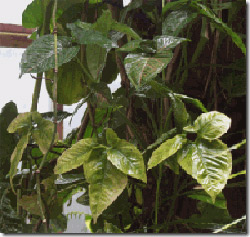 طریقه کاشت هندوانـه طريقه نگهداری از گیـاه سینگونیوم mimplus.ir