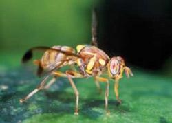 حشره,حشرات,حشرات میوهخوار,سیستم بینایی حشرات