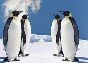 پنگوئن,چرا پاهای پنگوئن یخ نمی زند