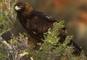 ویژگی ها و دو نژاد محبوب عقاب