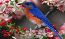 آواز خواندن پرندگان,چرا پرندگان آواز می خوانند