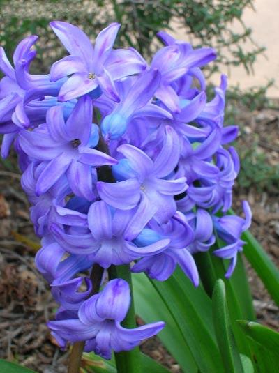 پرورش گل سنبل,گیاه سنبل,گل سنبل,طریقه نگهداری از گل سنبل,انوا سنبل