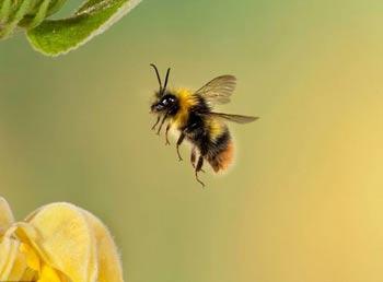 حشرات گردهافشان,زنبور عسل,گرده افشانی زنبور عسل,مطالب علمی