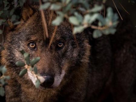 انواع گرگ ها,گرگ,گرگ خاکستری,گرگ مزرعه