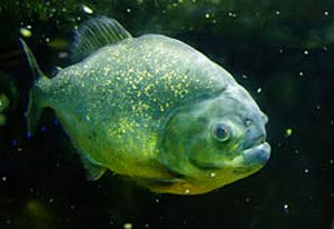 ماهی پیرانا,پیرانای شکم سرخ,انواع پیرانا
