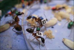 مطالب داغ: تغيير شغل مورچه ها با افزايش سن