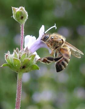 زنبور عسل,زندگی زنبور عسل,درباره زنبور عسل