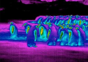 پنگوئن,علت سازگاری پنگوئن با هوای سرد قطب