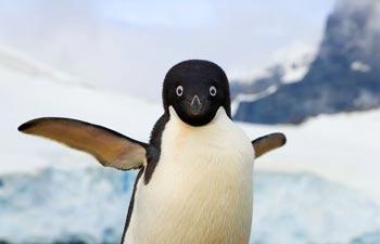 پنگوئن,دلیل پرواز نکردن پنگوئنها