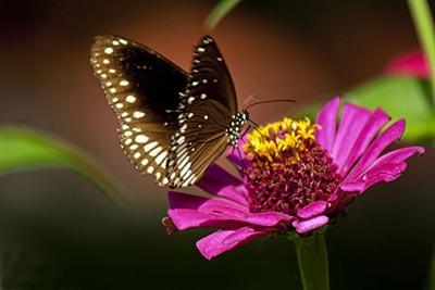 پروانه,ساختار بدن پروانه,انواع پروانه