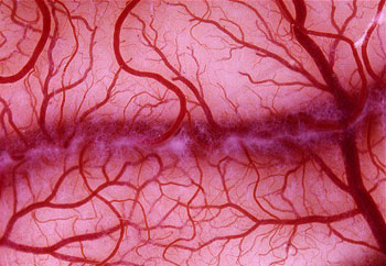 تولید رگهای خونی مصنوعی با دوام از سلولهای بنیادی