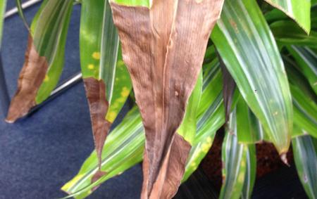 بیماری گیاهان,علائم بیماری گیاهان,گیاهان کم پشت,علت زرد شدن برگ گلها