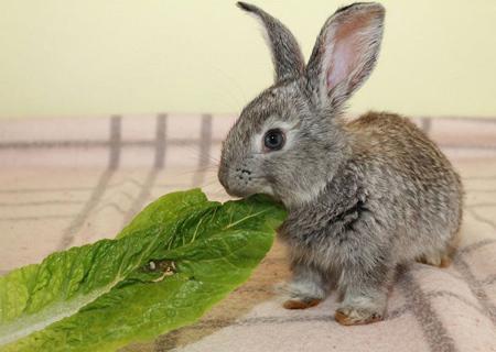 نگهداری از خرگوش,نگهداری خرگوش در خانه