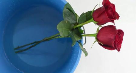 تکنیک های خرید گل رز, مهارت های نگهداری از گل سرخ