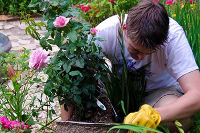 روش های نگهداری از گل رز, نکاتی برای پرورش گل رز