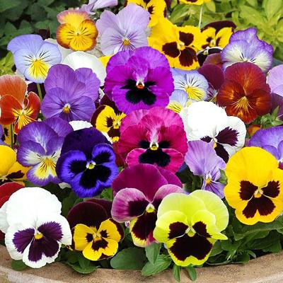 درباره گل بنفشه, کاشت گل بنفشه