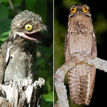 شباهت پرند پوتو به جغد,شناخت حیوانات عجیب