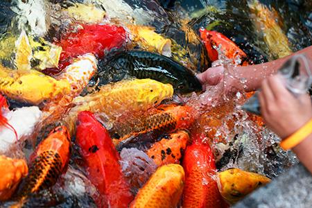 آشنایی با ماهی کوی,معرفی ماهی کوی