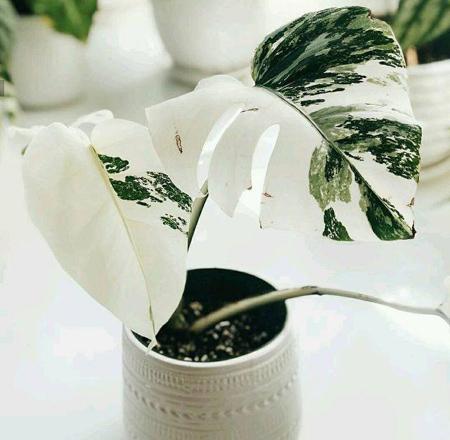 گل برگ انجیری,آشنایی با گل برگ انجیری