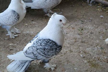 انواع نژادهای کبوتر,آشنایی با انواع کبوتر