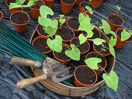 کاشت لوبیا,روش کاشت لوبیا,فصل کاشت لوبیا در گلدان