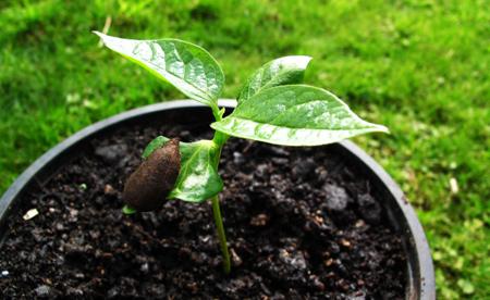 شرایط نگهداری از درخت خرمالو,شرایط و نگهداری از نهال خرمالو
