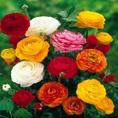 آشنایی با نگهداری و کاشت گل آلاله