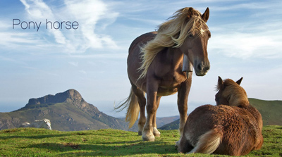 برخی نژادهای پونی,آشنایی با نژادهای اسب پونی
