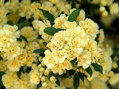 نگهداری از گل رز آبشار طلایی, کاشت و پرورش رز آبشار طلایی