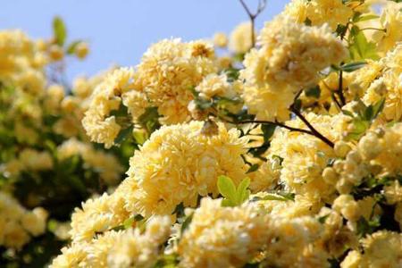 روش تکثیر گل رز آبشار طلایی, کاشت و پرورش گل رز آبشار طلایی