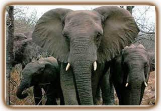 زبان محرمانه فیلها کشف شد