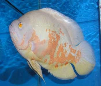 آشنايی با ماهی اسكار