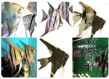 ماهی آنجل