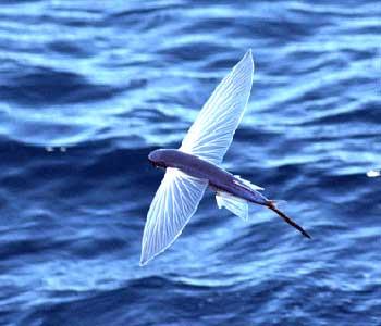 ماهی پرنده