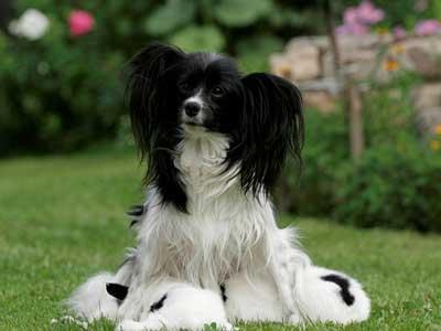 خصوصیات سگ پاپیلون