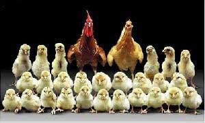 کدام یک اول بوجود آمدند : مرغ یا تخم مرغ؟!
