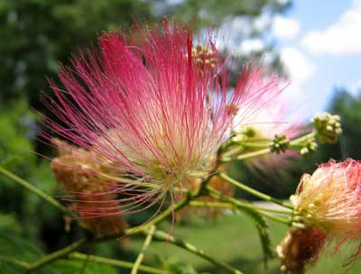 پرورش و نگهداری درخت ابريشم