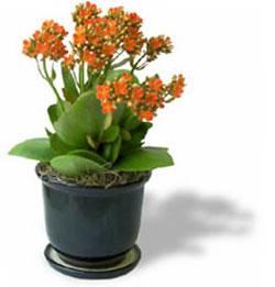 گل كالانكوئه,پرورش گلهای تزیینی