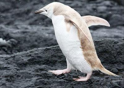 کشف پنگوئن بلوند در قطب جنوب!!
