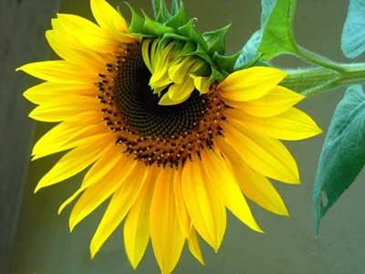 کاشت آفتابگردان , نگهداری گل بامبو