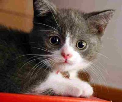 گربه ایرانی ,نگهداری گربه