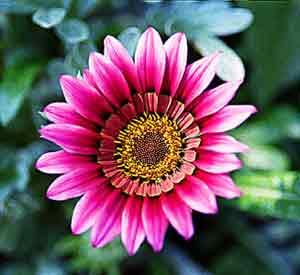 نحوه کاشت گل گازانیا , پرورش گل گازانیا