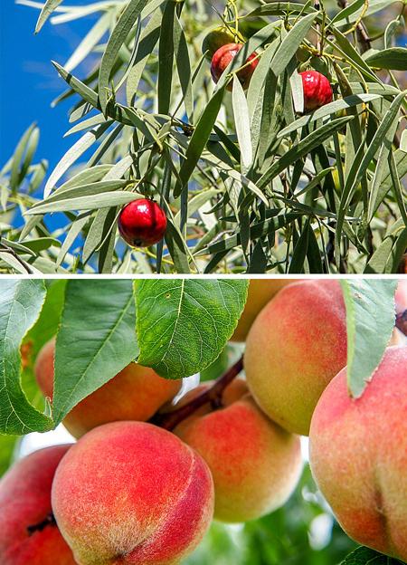 تفاوت شکل میوه و سبزیجات در قدیم,طعم و ظاهر میوه ها در گذشته