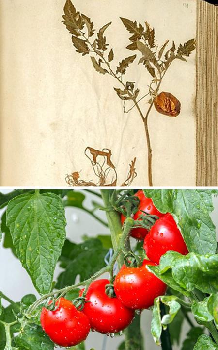 آشنایی با خیارها در گذشته, گوجه فرنگی در قدیم