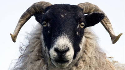 درباره گوسفندها,قابلیت تشخیص گوسفندان از چهره