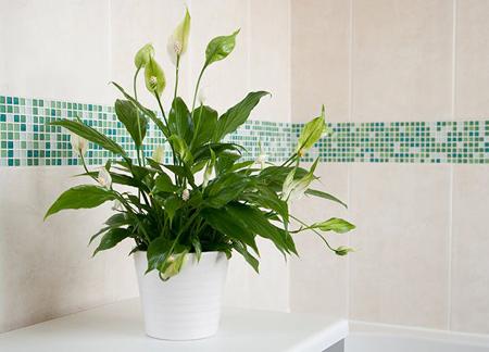 گل و گیاه تصفیه کننده, گیاهان خانگی تصفیه کننده