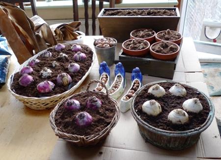 خرید گل سنبل,کاشت و خرید گل سنبل