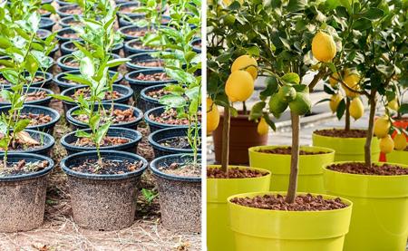 کاشت درخت میوه,نحوه کاشت درخت میوه