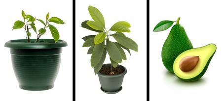 راهنمای کاشت انواع نهال,نحوه کاشت هسته میوه ها